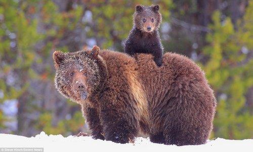 灰熊宝宝怕熊掌被冻 爬到妈妈背上取暖(图)