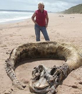 阿拉斯加9米长的巨大海洋生物