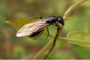 长翅膀的蚂蚁