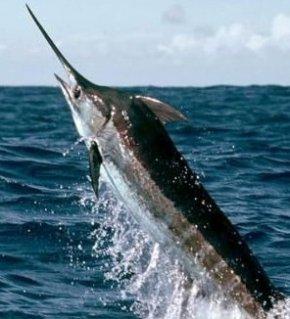 世界上游泳最快的鱼