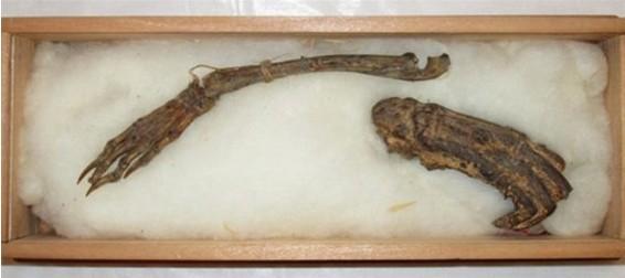 """日本展出据称是1818年猎杀的""""河童""""之手"""