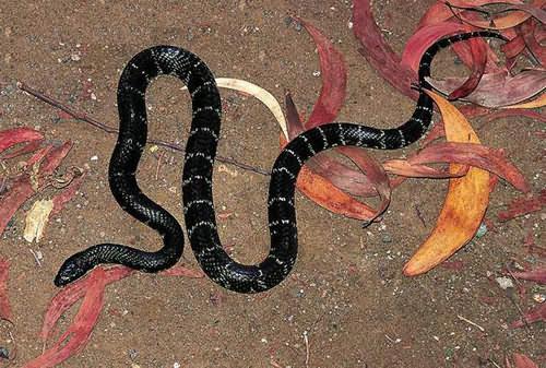 世界上最的蛇排名_世界上最毒的蛇_毒蛇十大排名