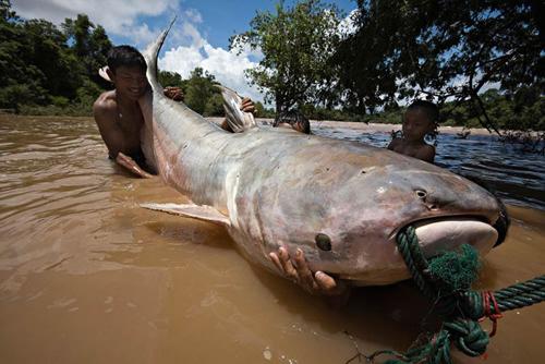 世界最大鱼视频_世界上最大的鲶鱼|最大鲶鱼_ufo110线索网