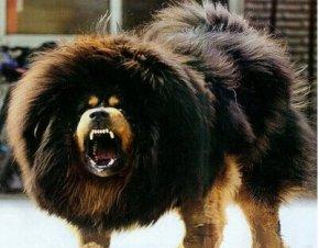 世界上最大的狗排名_体型最大的六种狗排名