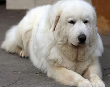 动物世界 > 世界上最大的狗排名