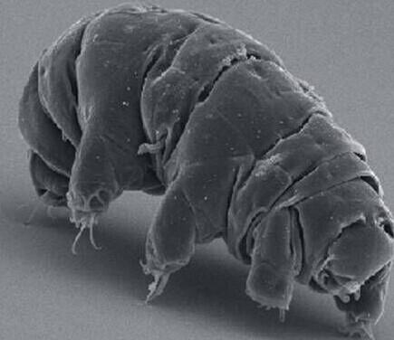 """日本科学家成功复活冰冻30年的缓步动物""""水熊虫""""图片"""