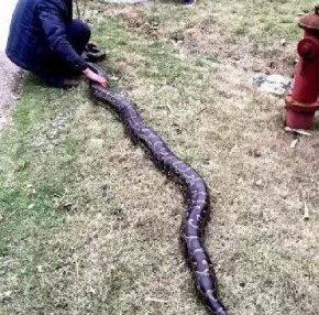 福建一工地现46斤超级大蟒蛇