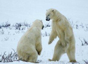 南极有北极熊吗_北极有企鹅吗